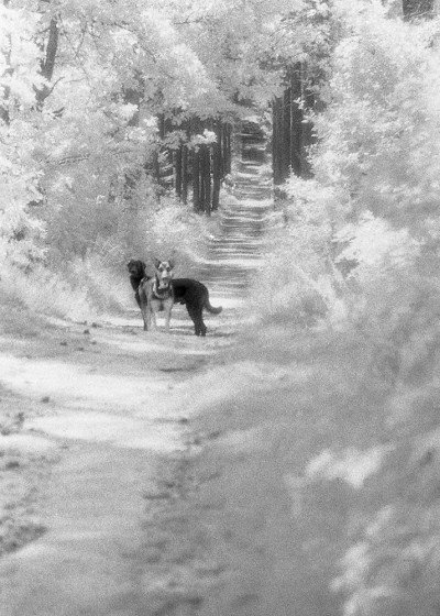 DOGS IN THE FOREST I