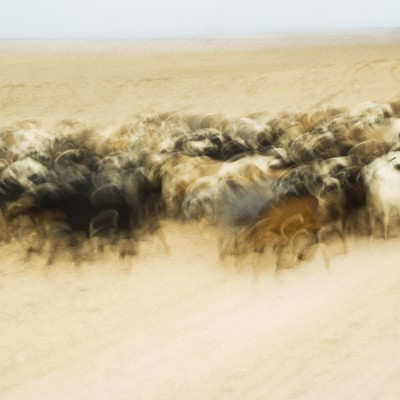 GOATS; CARPET II