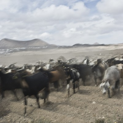 GOATS; HERD IN MOTION II
