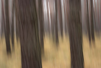 POLISH FOREST V
